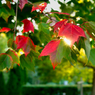 Early Autumn leaves at dawn